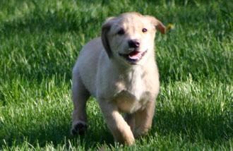 British Labrador Puppies Royalty British Kennels